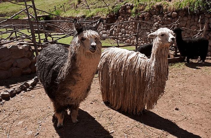 A huacaya alpaca, left, and a suri alpaca.