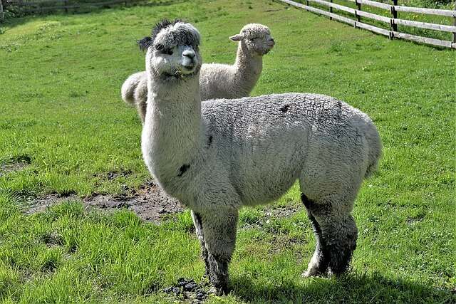 Caring for Alpacas: 5 Essential Facts